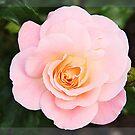 Pink rose in frame by Luisa Fumi