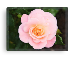 Pink rose in frame Canvas Print