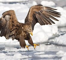 White Tailed Sea Eagle by Jack Reynolds
