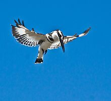 Pied Kingfisher hovering by Shaun Whiteman