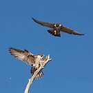 Two Peregrine Sky by Kent Keller