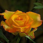 Peace Rose by Ahiraj Bhat