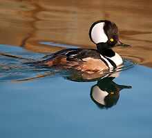 Hooded Merganser by imagetj