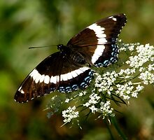 White Admiral on Queen Anne's Lace by briansbabe