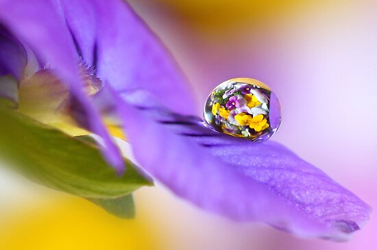 Pansy cluster by Lyn Evans