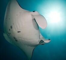 Manta Closeup by Todd Krebs