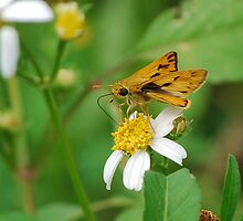 Fiery skipper on Spanish Needles by Ben Waggoner