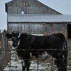 Black and white cow by mltrue