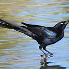 Great-tailed Grackle ~ Male by Kimberly P-Chadwick