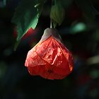 Chinese lantern by Daphne Gonzalvez