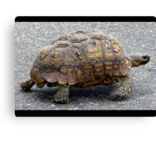 Tortoise strolling along Canvas Print