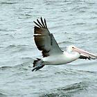 pelican take off by SUBI