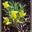 Evening Primrose by sillyfrog