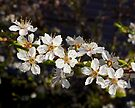 crystal clear cherry blossoms by dedmanshootn