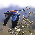 Lilac breasted roller in Zambia by Marieseyes