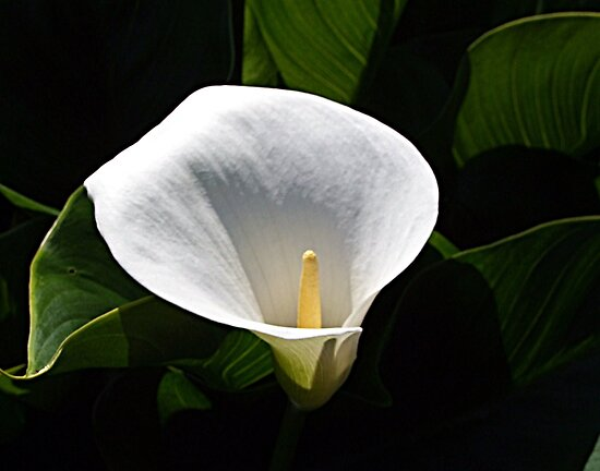 Calla Lily by George Cousins