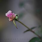 The Rose by HamimCHOWDHURY