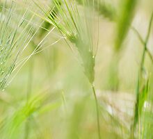 Green Barley by Skye Hohmann