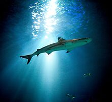 Black tip reef shark - Aquarium by Camille Wesser