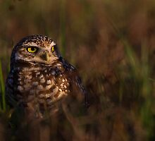 Burrowing Owl at last light - Cape Coral, Fl. by Daniel Cadieux