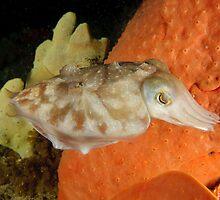 Reaper Cuttlefish - Sepia mestus by Andrew Trevor-Jones