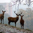 Deer in the City by philrwesty