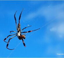 GOLDEN ORB-WEB SPIDERS - _Family tetragnathidae_ by Magaret Meintjes