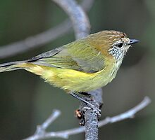 Straited Thornbill - Victor Harbour by Alwyn Simple