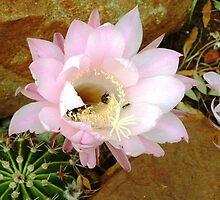 Cactus flower (Echinopsis) by Maree  Clarkson
