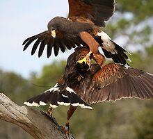 Harris Hawk Collision by Paulette1021