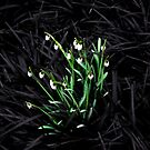 Galanthus by SpencerCopping