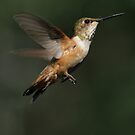 Hummingbird on Pause by Ted Widen