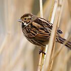Reed Bunting by Peter Stone