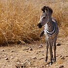 Watchful zebra foal in Zambia by Alex Cassels