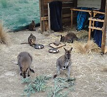 Mother substitution enclosure for young wallabies by Ron Co