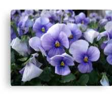PRETTY PANSIES Canvas Print