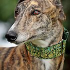 Handsome Harry Hound by GreyhoundSN
