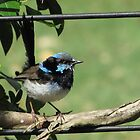 Male Superb Fairy Wren! by KiriLees