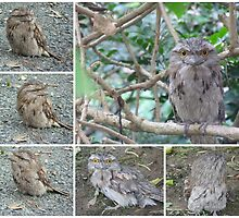 Tawny Frogmouth collage by Virginia McGowan