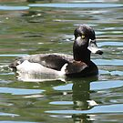 Ring-necked Duck ~ Male by Kimberly P-Chadwick
