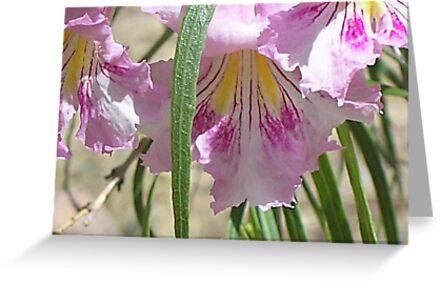 Desert Willow bloom by Ann Warrenton
