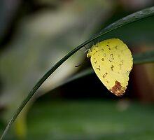 3-Spot Grass Yellow by Prabir-2011