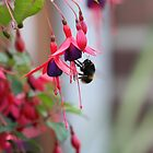 Bee on Fuchsia by squonk1666