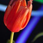 Tulip with blue and green streaks by mltrue