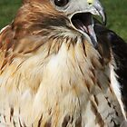 Red Tailed Buzzard II by Debbie Ashe