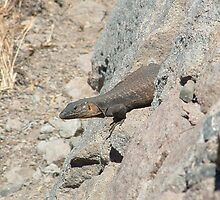 Canarian Lizard in Gran Canaria by claireandcoco