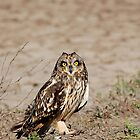 Cute - Short-eared Owl (Asio flammeus) by umang