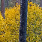 Autumn colour, Yosemite National Park, USA. by Justin Foulkes