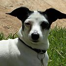 Hi! I'm Jacko, a Fox Terrier/Chihuahua cross - Maree by Maree Clarkson