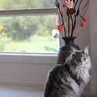 Mr Maine Coon by Chuckys72